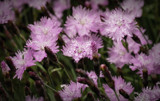 Dianthus Today and Tomorrow by luckyshot, photography->flowers gallery
