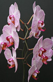 Orchids In Profile by jerseygurl, photography->flowers gallery