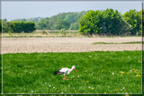 Flower Picking Stork by corngrowth, photography->birds gallery