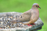 Mourning Glory by Mvillian, photography->birds gallery
