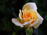 My Sister's Rose by braces, Photography->Flowers gallery