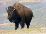 At Home Where The Buffalo Roam by Zava, photography->animals gallery