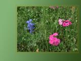 Texas Wildflowers 3 by gabriela2006, Photography->Manipulation gallery
