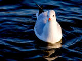 Gull 3 by braces, Photography->Birds gallery
