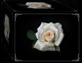 Purely Promises Box ....2011 by Roseman_Stan, photography->flowers gallery