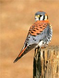 American Kestrel by photoeye68, photography->birds gallery