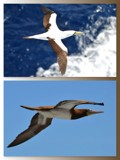"""""""Flying Booby's"""" by icedancer, photography->birds gallery"""