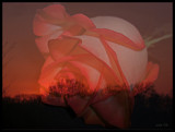 Rose Sunset by ccmerino, Photography->Manipulation gallery