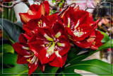 F² Amaryllis 1 by corngrowth, photography->flowers gallery