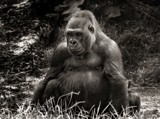 King Kong by LynEve, photography->animals gallery