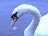 Swan by Marina_10, Photography->Birds gallery