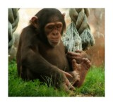 cheeky chimp by JQ, Photography->Animals gallery