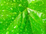 Leaf and raindrops by killahsting, photography->nature gallery