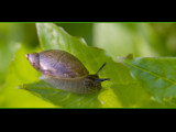 terrestrial gastropod by kodo34, photography->animals gallery