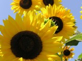 Sunny Smiles! by marilynjane, photography->flowers gallery