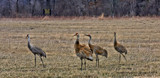 Sand Hill Cranes Spring of 2015 by tigger3, photography->birds gallery