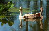 A Sweet Capture - Young Swans  by tigger3, Photography->Birds gallery