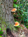 Shelf Fungi by Pistos, photography->mushrooms gallery