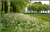 Cow Parsley by corngrowth, Photography->Landscape gallery