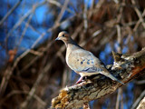 Mourning Dove 2 by gerryp, Photography->Birds gallery
