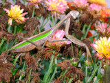 Praying Mantis on Mum by lilbwb, Photography->Animals gallery