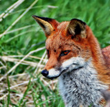 Foxy by biffobear, photography->animals gallery