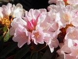 """""""Sugar Baby"""" Rhododendren by trixxie17, photography->flowers gallery"""