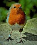 Robbo by biffobear, photography->birds gallery