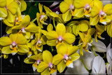 FF Orchids 13 by corngrowth, photography->flowers gallery
