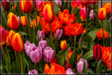 Amsterdam Tulip Festival 04 by corngrowth, photography->flowers gallery