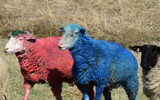 Easter Sheep by 0930_23, photography->animals gallery