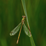 Lestes sponsa by biffobear, Photography->Insects/Spiders gallery
