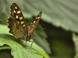 Speckled Wood - Pararge aegeria by ekowalska, Photography->Butterflies gallery