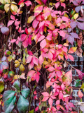 Virginia Creeper in the Holiday Mood by Pistos, photography->nature gallery