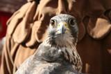 Falcon by Revilo, Photography->Birds gallery