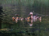 Mallard with Ducklings by gerryp, Photography->Birds gallery