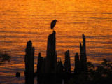 Herons Silhouette  by busybottle, photography->birds gallery