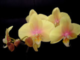 Orchids for Someone Special by Ramad, Photography->Flowers gallery