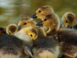 Gosling Siblings by gerryp, Photography->Birds gallery