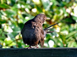 Female Blackbird by biffobear, Photography->Birds gallery