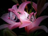 Dragon Lilly by pixelpusher, photography->manipulation gallery