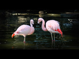 Pair of Flamingo's by ThisIsMOC, Photography->Birds gallery
