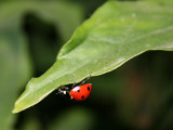 ladybug by velveteye, Photography->Insects/Spiders gallery