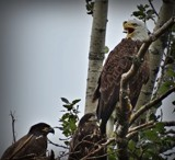 Bald Eagle # 8 by picardroe, photography->birds gallery