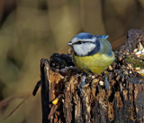 Yet another Bluetit by biffobear, photography->birds gallery
