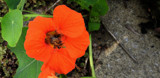 Nasturtium And Friend by braces, photography->flowers gallery