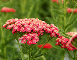 'New Vintage Red' Yarrow by trixxie17, photography->flowers gallery