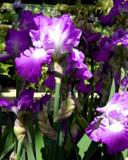 Pretty Purple by trixxie17, photography->flowers gallery