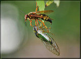 The Wasp and the Cicada by Jimbobedsel, photography->insects/spiders gallery