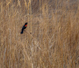 Red-Winged Blackbird by Pistos, photography->birds gallery